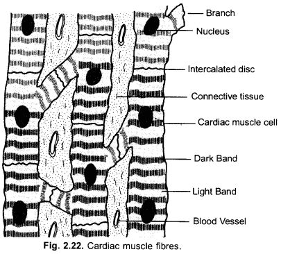 The annulus of zinn, also known as the common tendinous ring or the. Tissues Class 9 Important Questions Science Chapter 6
