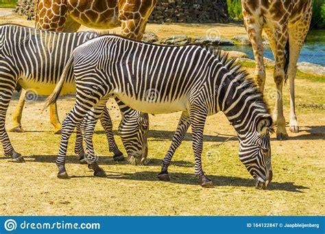 zebra imperial endangered wild specie striped closeup horse africa animal