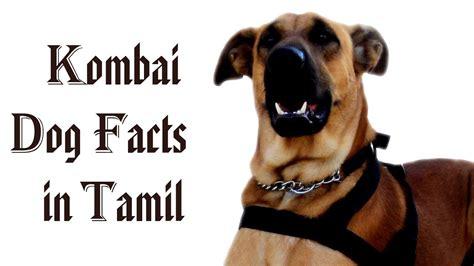 kombai dog facts  tamil namma naattu naaigal facts