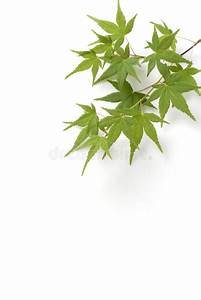 Japanese Maple Tree Leaves Royalty Free Stock Photos ...