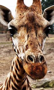 Free HD Giraffe Phone Wallpaper...8575