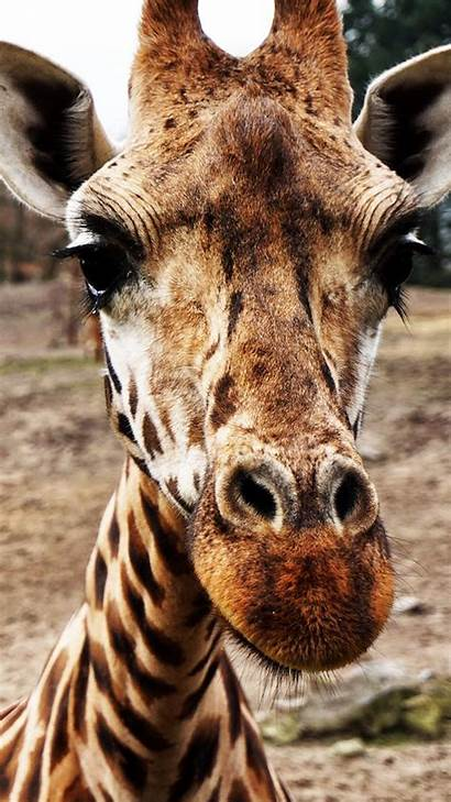 Giraffe Phone Wallpapers Animals Safari Funny Mobile