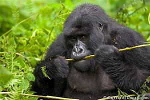 Adult Gorilla Eating a Fern - Burrard-Lucas Photography