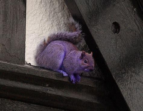 Pete The Purple Squirrel Leaves Animal Lovers Baffled