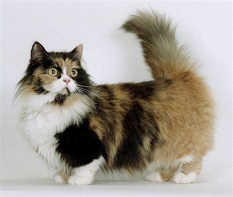 Munchkin Cat Short Legs As An Advantage