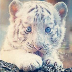 cute baby tiger tumblr - DriverLayer Search Engine