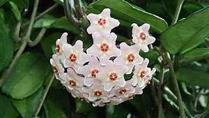 Pflanze Mit Großen Blättern : porzellanblume hoya richtige pflege f r sch ne bl ten ~ Michelbontemps.com Haus und Dekorationen