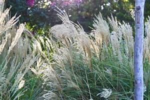 Pampasgras Wann Schneiden : ziergr ser pflanzen pflegen schneiden und mehr ~ Lizthompson.info Haus und Dekorationen