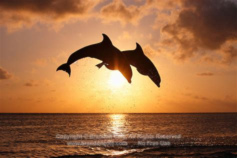 bottlenose dolphins jumping  sunset marine