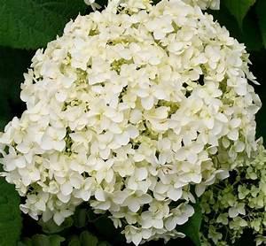Hortensie Weiß Winterhart : bcm hortensie strong annabell h he 50 60 cm 2 pflanze online kaufen otto ~ Orissabook.com Haus und Dekorationen