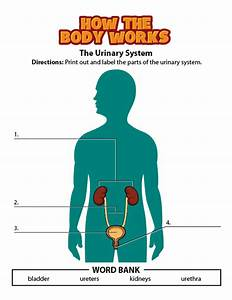 35 Label The Parts Of The Urinary System