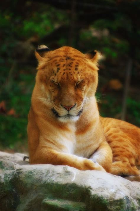 Best Images About Lions Tigers Ligers Pinterest