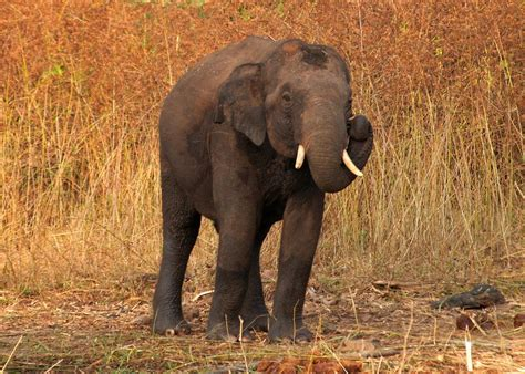 Asian Elephant/ Gallery Disney Animals Wiki Fandom