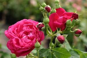 Rosen Kaufen Günstig : cybelle und andere rosen kaufen sie g nstig im online shop von rosen ~ Markanthonyermac.com Haus und Dekorationen