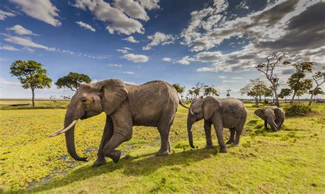 animals elephants  maasai mara county park  kenya