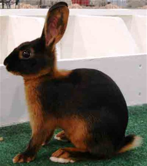 tan rabbit characteristics full breed information