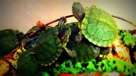 Kura-kura Brazil - YouTube