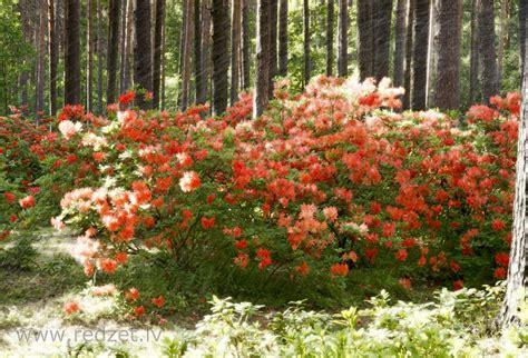 Japānas rododendrs - Japānas rododendrs (Rhododendron ...