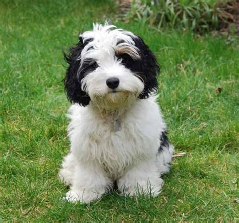 Do Cavachons Shed by He Is Cuteous Maximus Puppys