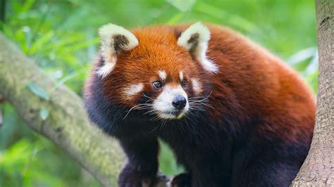 red panda amdovirus viral diseases  conservation