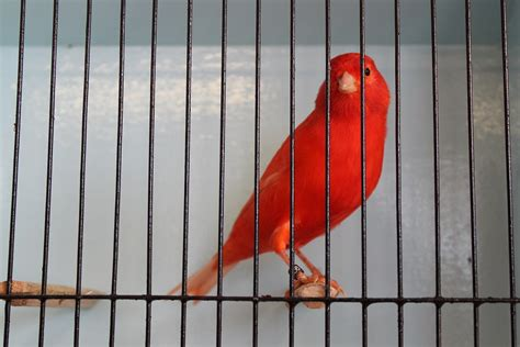 canary color care of your pet canary melbourne canary improvement society