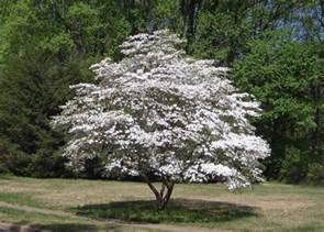 flowers for panoramio photo of flowering dogwood
