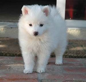 American Eskimo Dog Breeders Profiles and Pictures | Dog ...