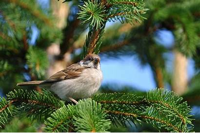Birds Tree Sparrow Trees Pine Nature Spatz