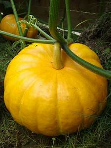 Pumpkin Two Chances Veg Plot Blog