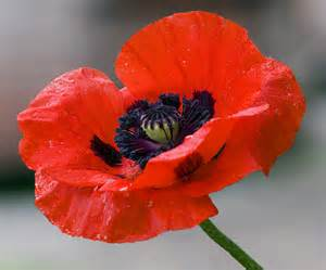 Image result for pics of poppies