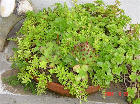 succulents as ground cover succulent ground covers coco724 s weblog