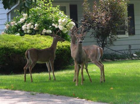 plants    deer resistant