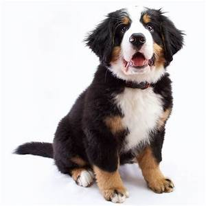 Bernese Mountain Dog Breed » Info, Pictures, & More