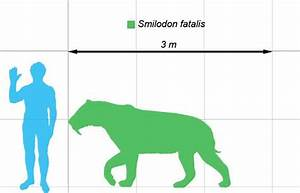 How Big was a Saber Tooth Tiger - Saber Tooth Tiger Size ...