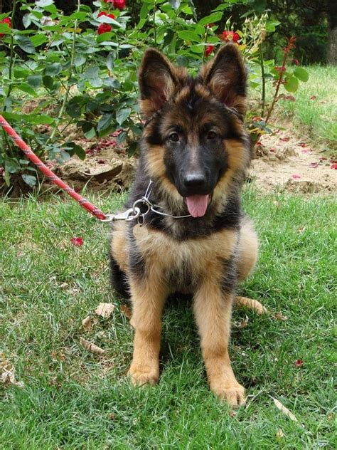 chiot berger allemand poil 4 mois