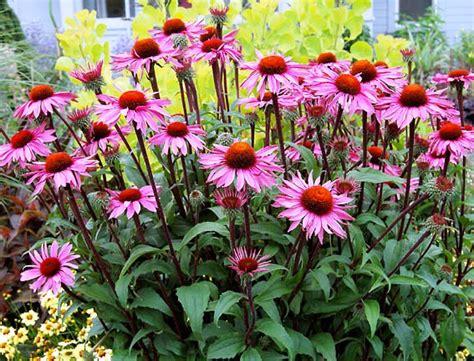 echinacea merlot monsoon madness sparks garden savings watters garden