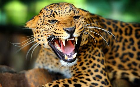 Jaguar Facts History Useful Information And Amazing Pictures