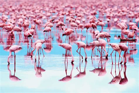 how do flamingos get their pink color why are flamingos the color pink