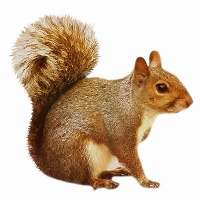 Transparent Squirrel Clipart Animals Brown Yopriceville Previous