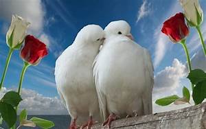 White Lovebirds (Peace) - Beautiful Birds Wallpaper