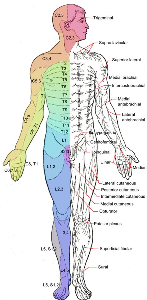 spinal nerves boundless anatomy  physiology