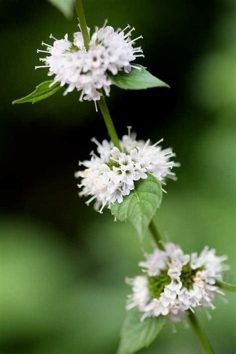 mint flowers mint flower