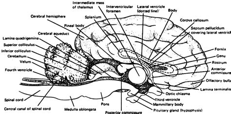 sheep brain anatomy diagram space shuttle parts diagram labeled pics about space