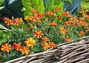 Plantes Amies Et Ennemies Au Potager : bien associer l gumes fleurs et plantes aromatiques ~ Melissatoandfro.com Idées de Décoration