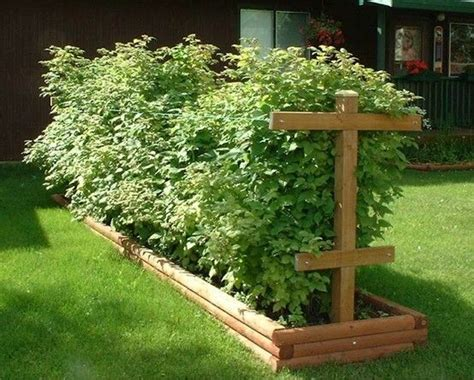 Trellis, Raspberries And Trellis Ideas On Pinterest