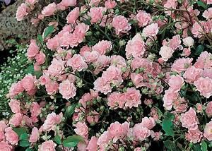 Rosier Grimpant Remontant : engrais naturels pour rosiers roses guillot ~ Melissatoandfro.com Idées de Décoration