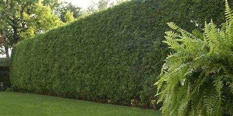 haie qui pousse vite sans entretien panneaux de jardin