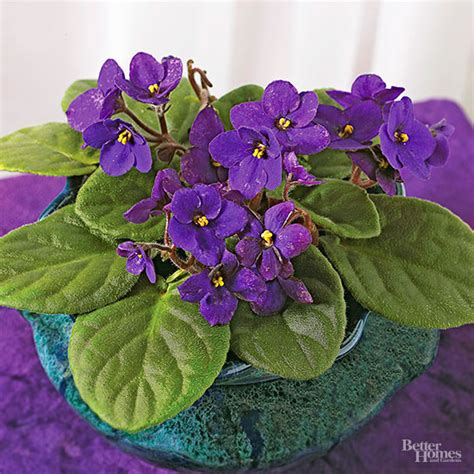 violet leaves turning white violet leaves turning white 28 images what makes my african violet turn white home guides