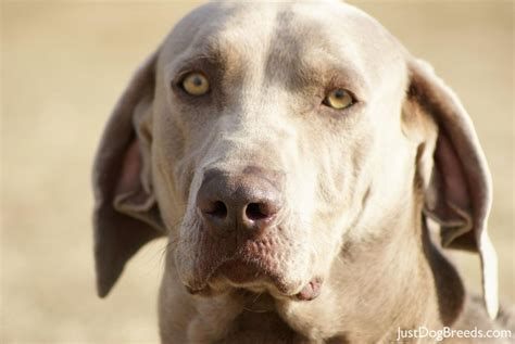 dogs that dont shed weimaraner 17 low shed dogs small 10 healthiest breeds