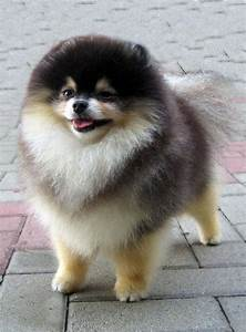 10 Pomeranian Puppies Who May Be Too Cute To Be Real ...